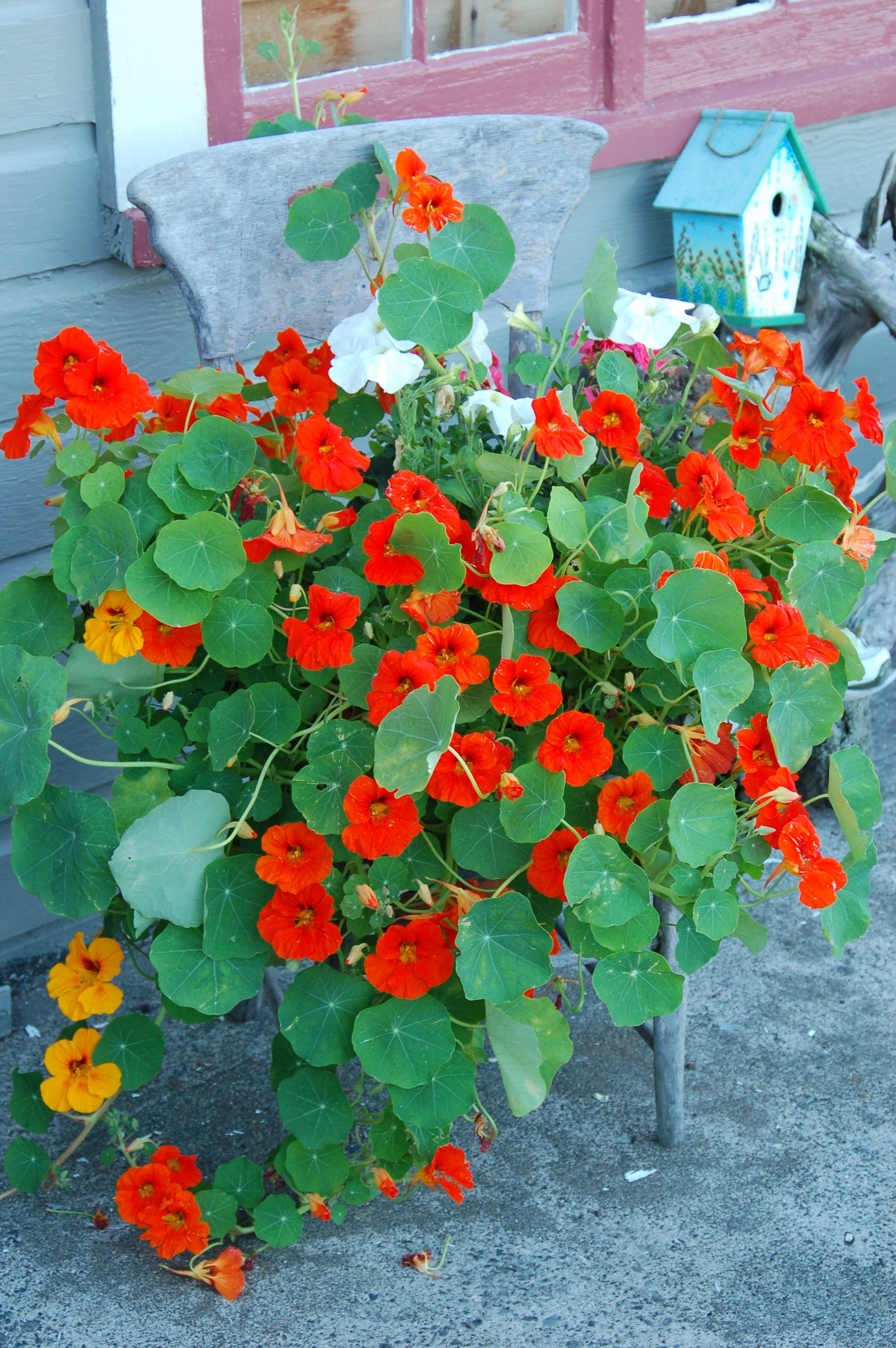 Love Nasturtiums in my garden...http://www.aldenteblog.com/2012/03/edible-flowers-for-the-salad-bowl.html