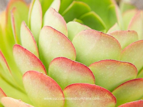 Aeonium arboreum Blushing Red - Succulents and Sunshine  NEW POSTERS for sale on blog