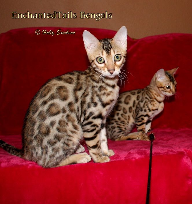 Enchantedtails Available Purebred Registered Bengal Kittens And