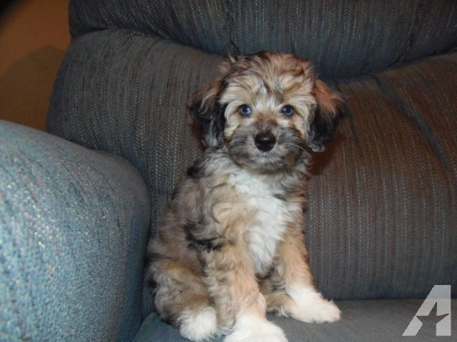 Milton Chocolate Merle Toy Mini Aussiedoodle Ckc Reg