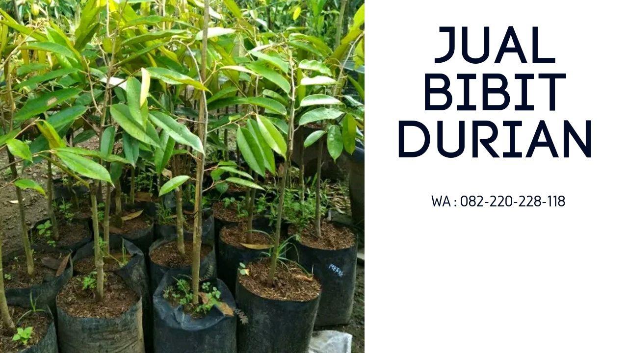 Hp Wa 0822 2022 8118 Bibit Durian Musang King Di Bandung Bibit Durian Musang King Bandung Bibit Durian Musang King Di Bogor Ciri Bibit D Tanaman Buah Hijau