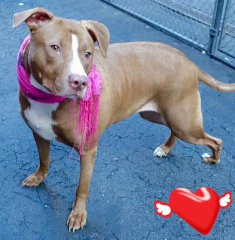 SAFE 12-9-2015 --- Manhattan Center ROXY – A1059017 SPAYED FEMALE, BROWN / WHITE, AM PIT BULL TER MIX, 1 yr, 5 mos OWNER SUR – ONHOLDHERE, HOLD FOR ID Reason HOME SIZE Intake condition UNSPECIFIE Intake Date 11/27/2015 http://nycdogs.urgentpodr.org/roxy-a1059017/
