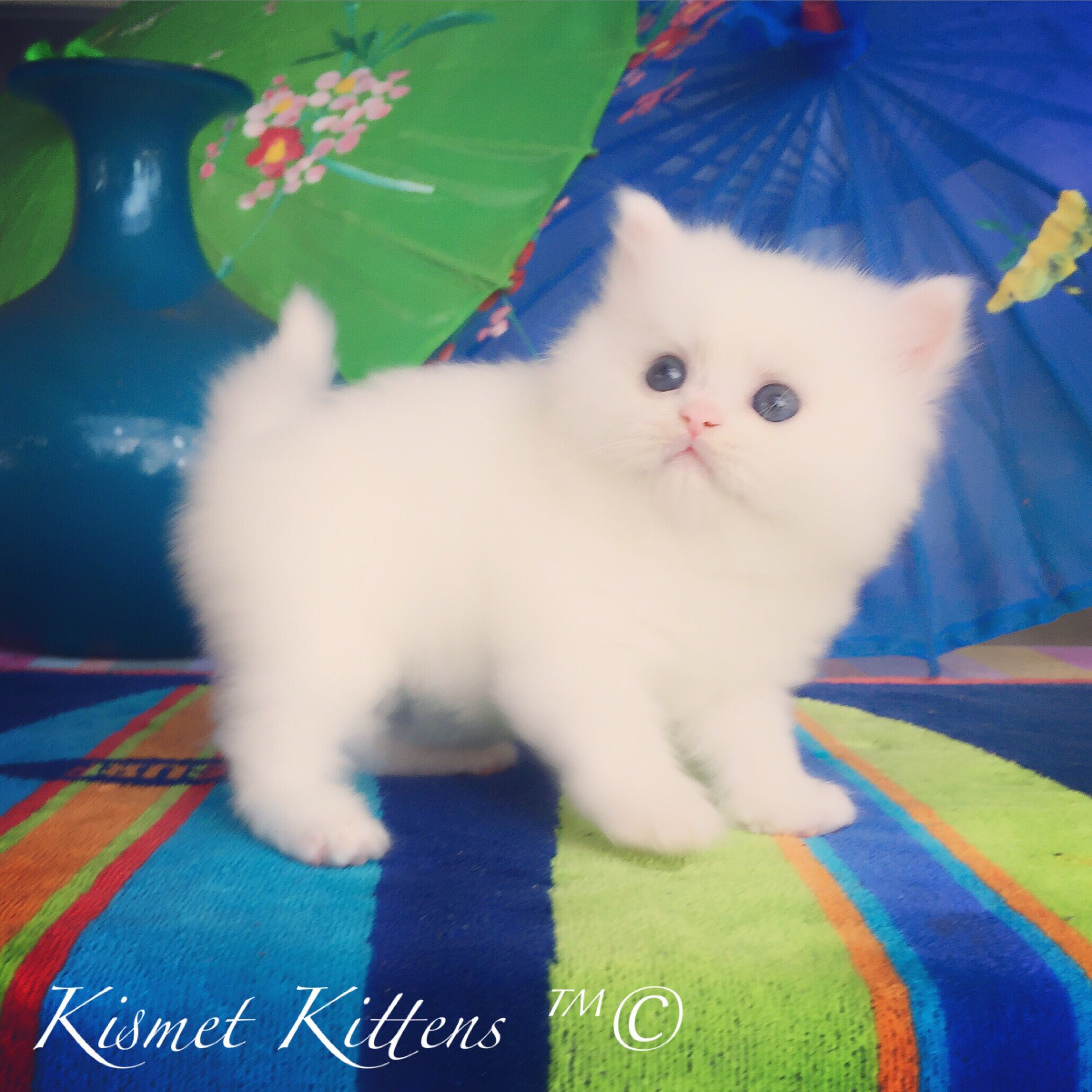 Kismet Kittens For Sale White Doll Face Persian Kitten Male