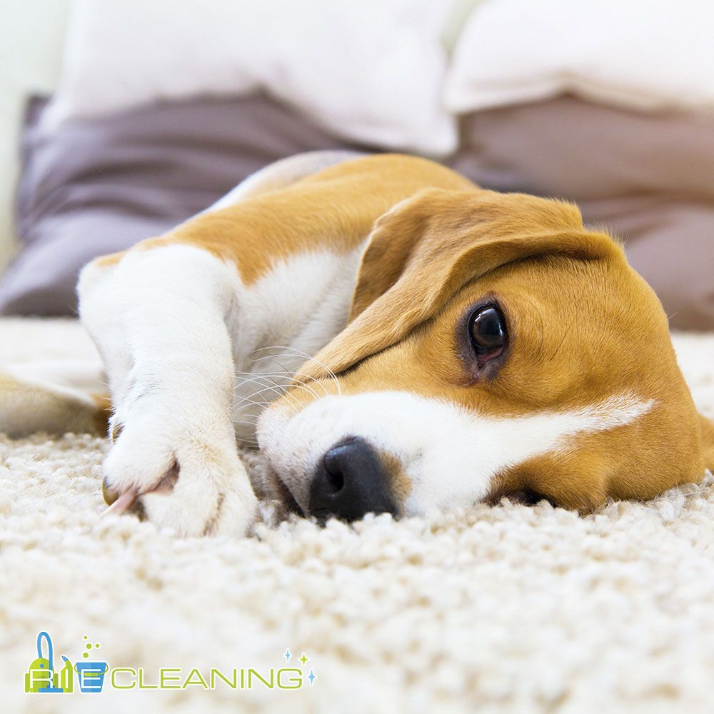 How to Remove Pet hair from Carpet > http//bit.ly