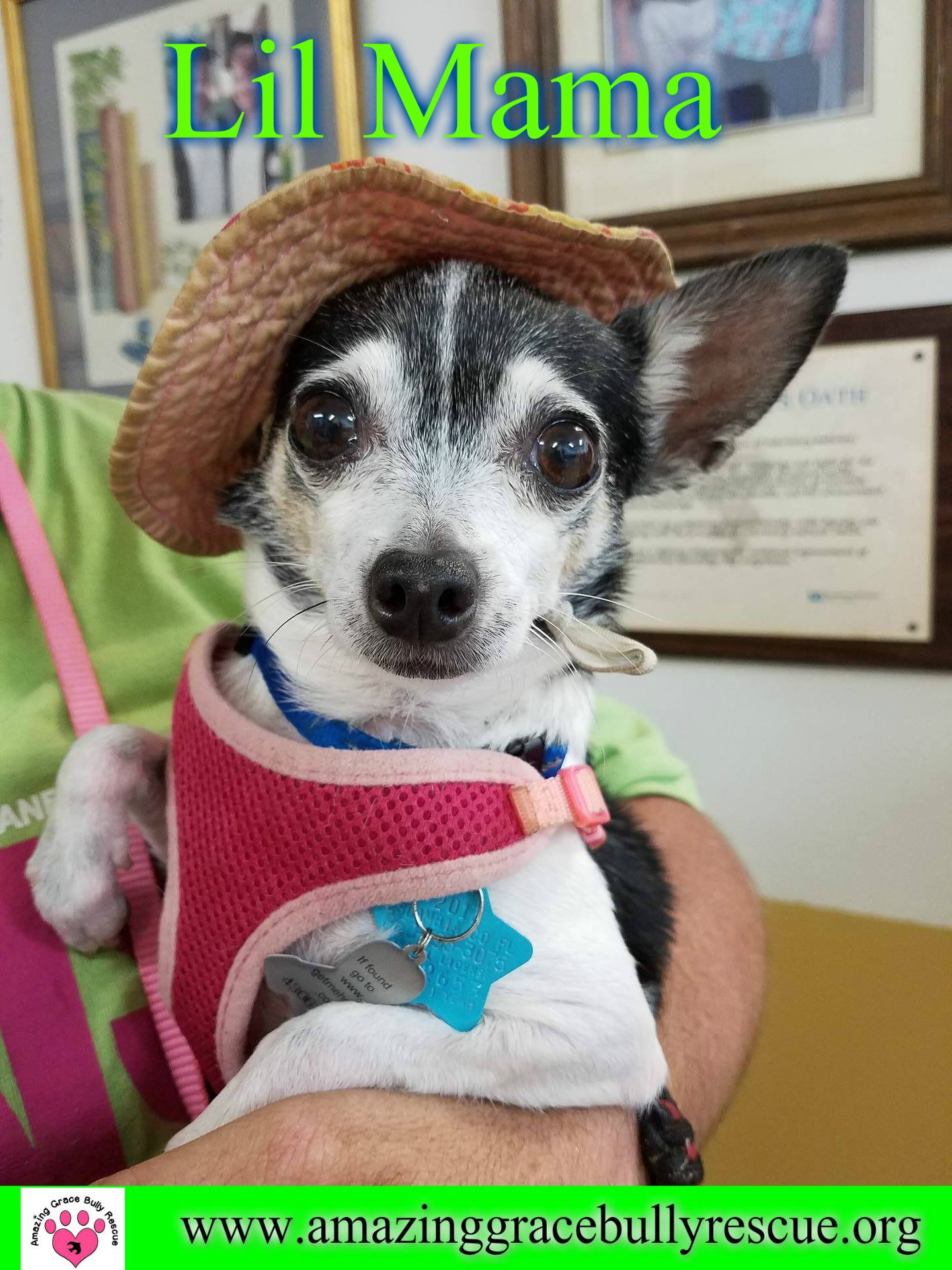 Chihuahua Dog For Adoption In Pensacola Fl Adn 551082 On