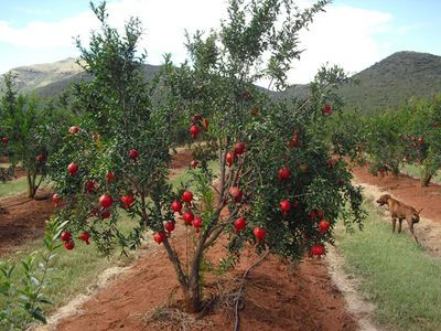 Non Existent Domain Growing Fruit Trees And Shrubs Shrubs