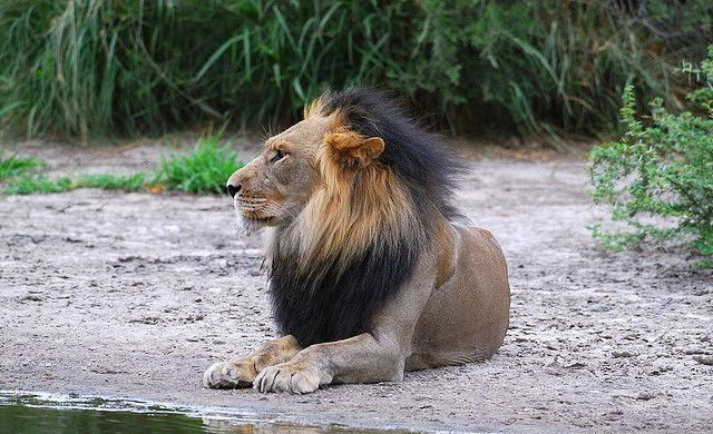 Lions (Panthera leo) by Ian n. White, via Flickr
