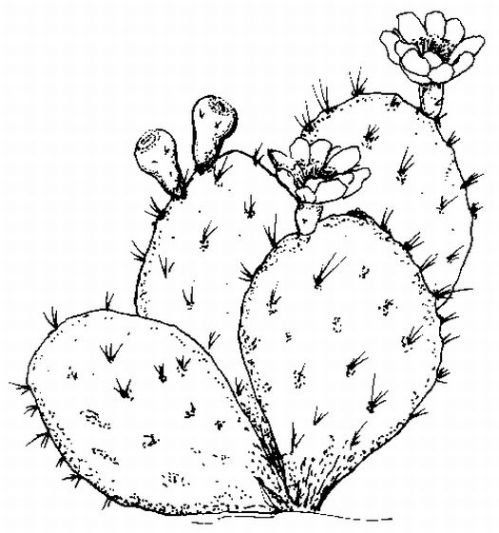 Saguaro Cactus Coloring Pages On Flower Drawing Cactus Art Cactus Paintings