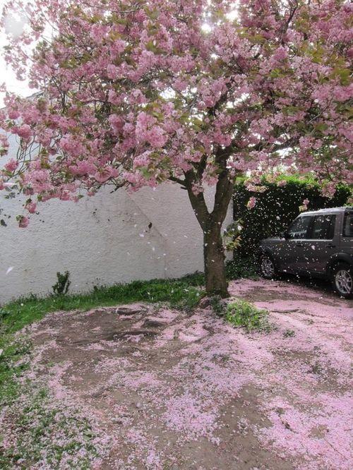 Sakura Cherry Blossom Tree Beautiful Tree Scenery Cherry Blossom
