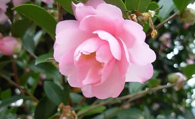Top 10 Beautiful Flowers That Look Like Roses Camellia Plant