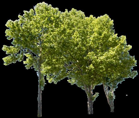 Plane Tree Group Ii Landshaft Arhitektura Trava