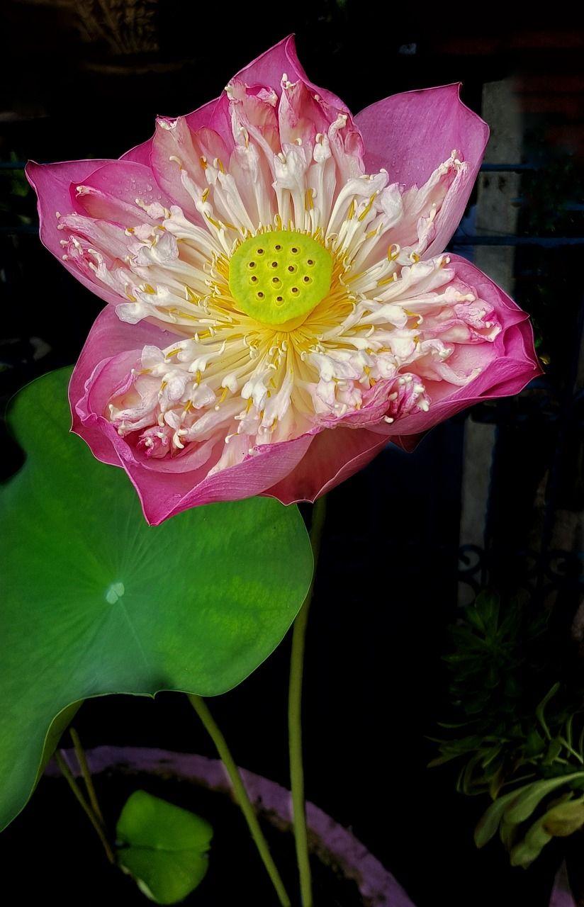 Park lotus flower large open pink flora park lotus flower park lotus flower large open pink flora park izmirmasajfo