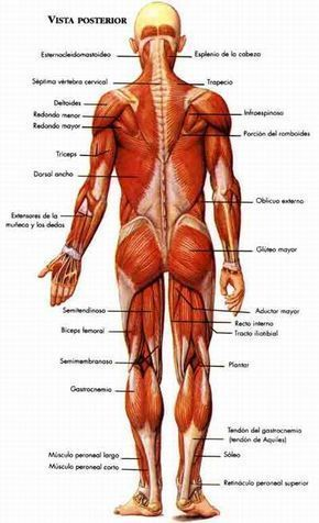 El sistema muscular - Monografias.com | Sistema muscular | Pinterest ...