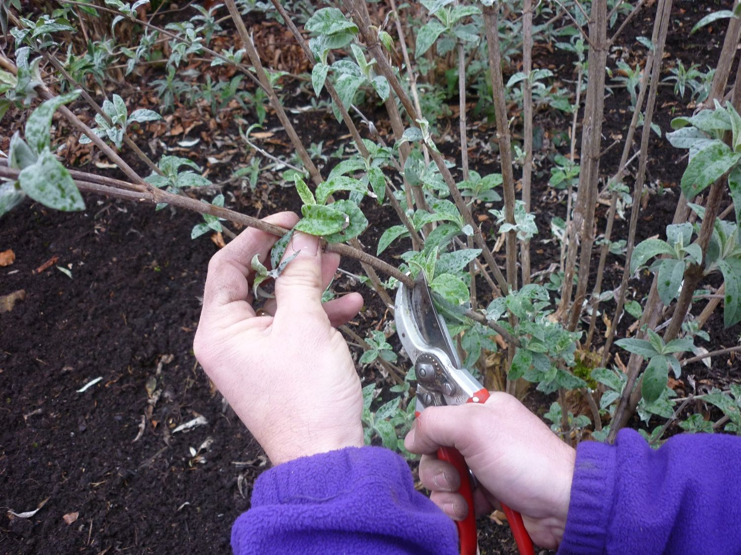 Remove dead stems from the bottom of the buddleia, about 45-60cm from the ground.