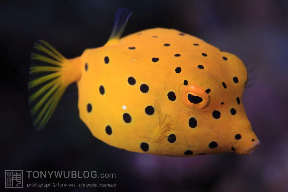 Juvenile Yellow Boxfish Ostracion Cubicus In Ambon Indonesia Tony Wu Underwater Photography Fish Marine Fish Salt Water Fishing