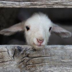 Baby Ziege 3 Susseste Haustiere Ausgestopftes Tier Susse Tiere