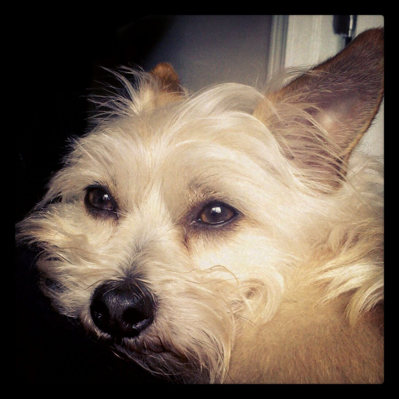 My Weederman Mix Of Cairn Terrier Chihuahua And Maltese So