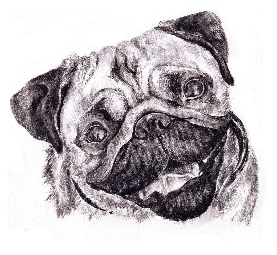 Pencil Drawings Of Pugs Pug Drawing By Cassandra Gallant Pug