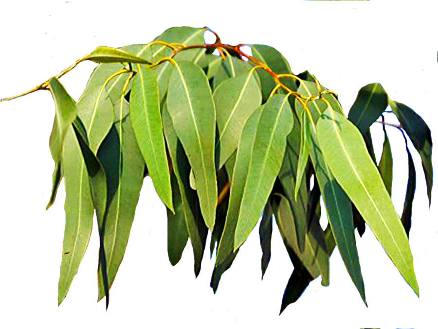 Gum tree leaves. Eucalypt flowers and buds Pinterest