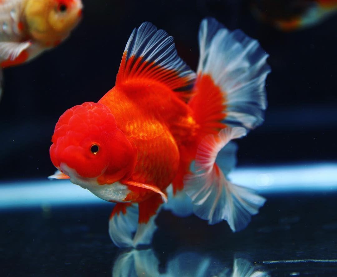 Pin Auf Gold Fish