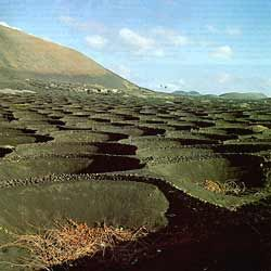 Lanzarote - vines grown in basins to gather sparse rainwater and protect from harsh winds
