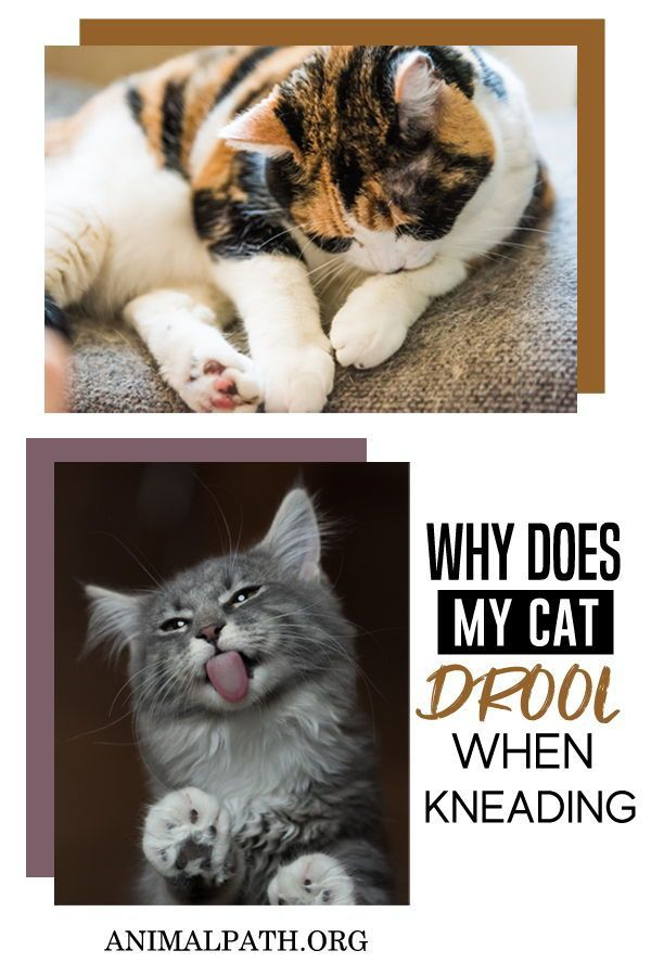 Why Does My Cat Drool When Kneading In 2020 Cat Drooling Cats Cat Behavior