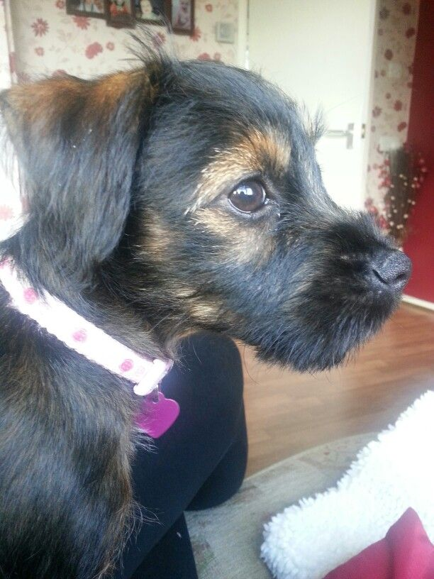 Pixie My Borderdale Terrier Puppy Border Terrier X Patterdale