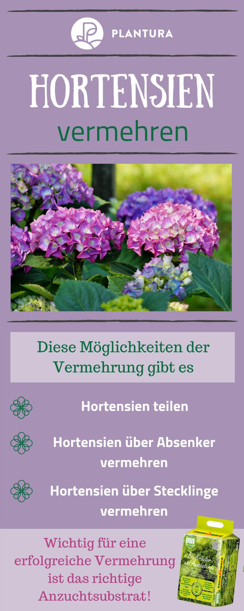 Hortensien vermehren: Ableger und Stecklinge