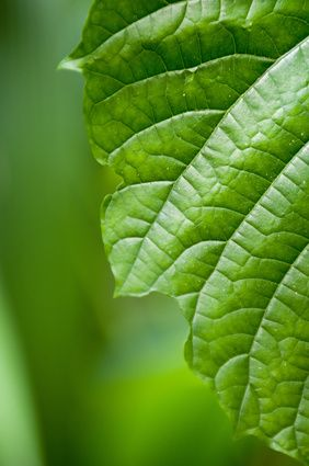 how much chlorophyll should you take  stevia erythritol