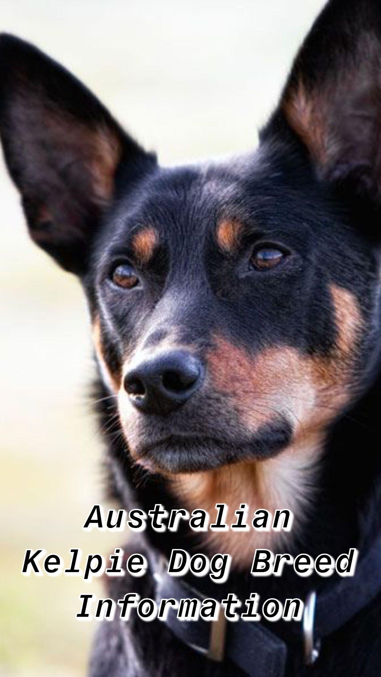 Australian Kelpie Dog Breed Information Australian Kelpie Dog Australian Dog Breeds Australian Kelpie