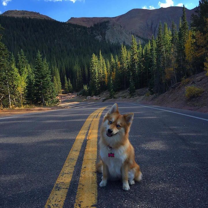 Adorable Pomsky Pup Is The Stunning Hybrid Of A Pomeranian And