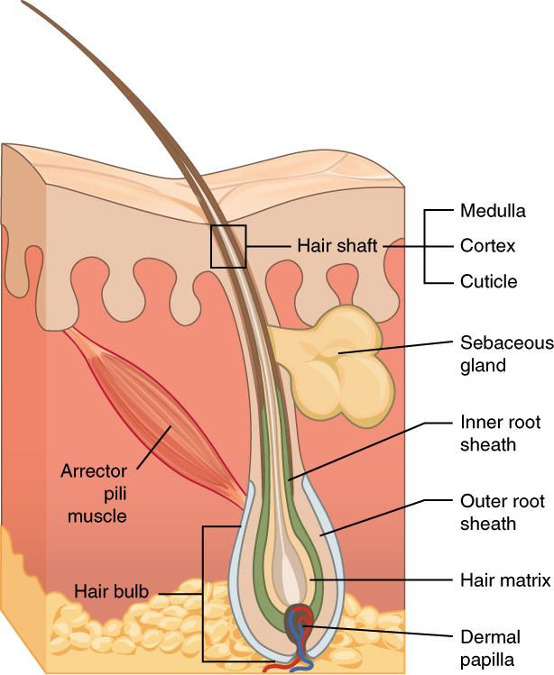 Diagram Of The Skin And Accessory Structures Diagram Pinterest