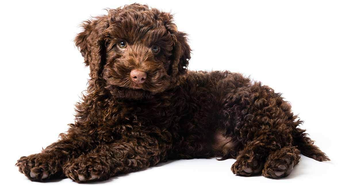 Available Merle Australian Labradoodle And Mini Aussiedoodle Puppies In Washington State Oregon Aussiedoodle Labradoodle Labradoodle Dogs Labradoodle Puppy