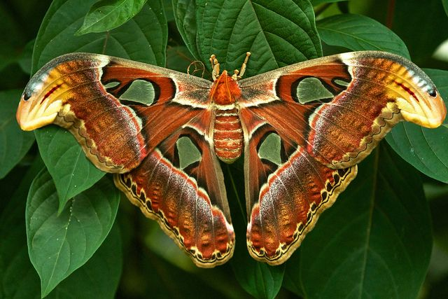 Atlas Moth Attacus Atlas Repost Atlas Moth Moth Large Moth