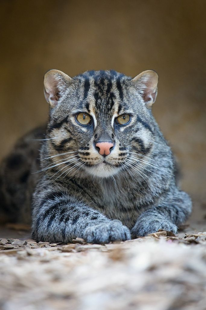 The endangered fishing cat is scattered throughout the