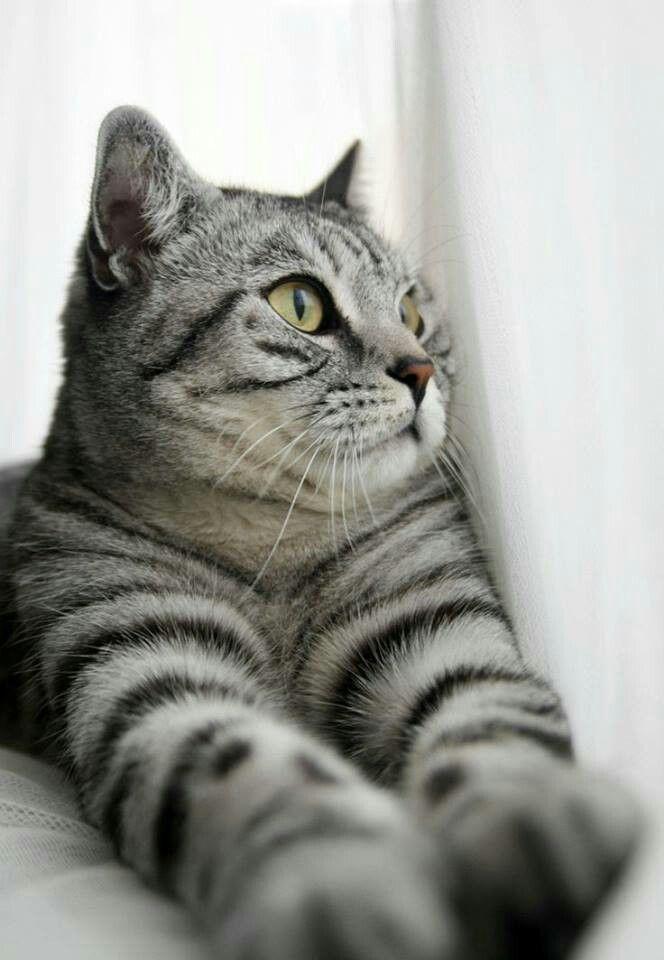 Grey Striped Cat Genesis Cute Animals Tabby Cat Pretty Cats