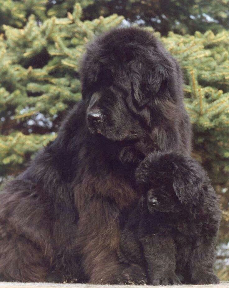 New Finland Dogs Newfoundland Puppies