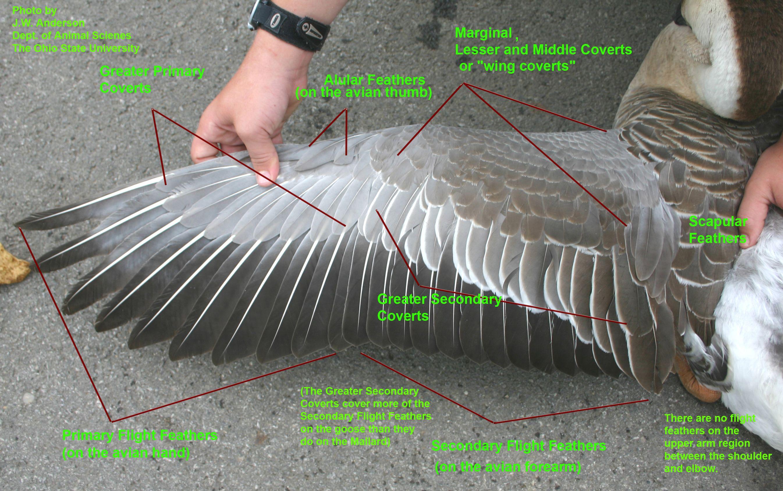 Bird Wing Anatomy