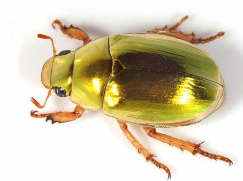 Christmas Beetles.Anoplognathus Aureus The Australian Christmas Beetle