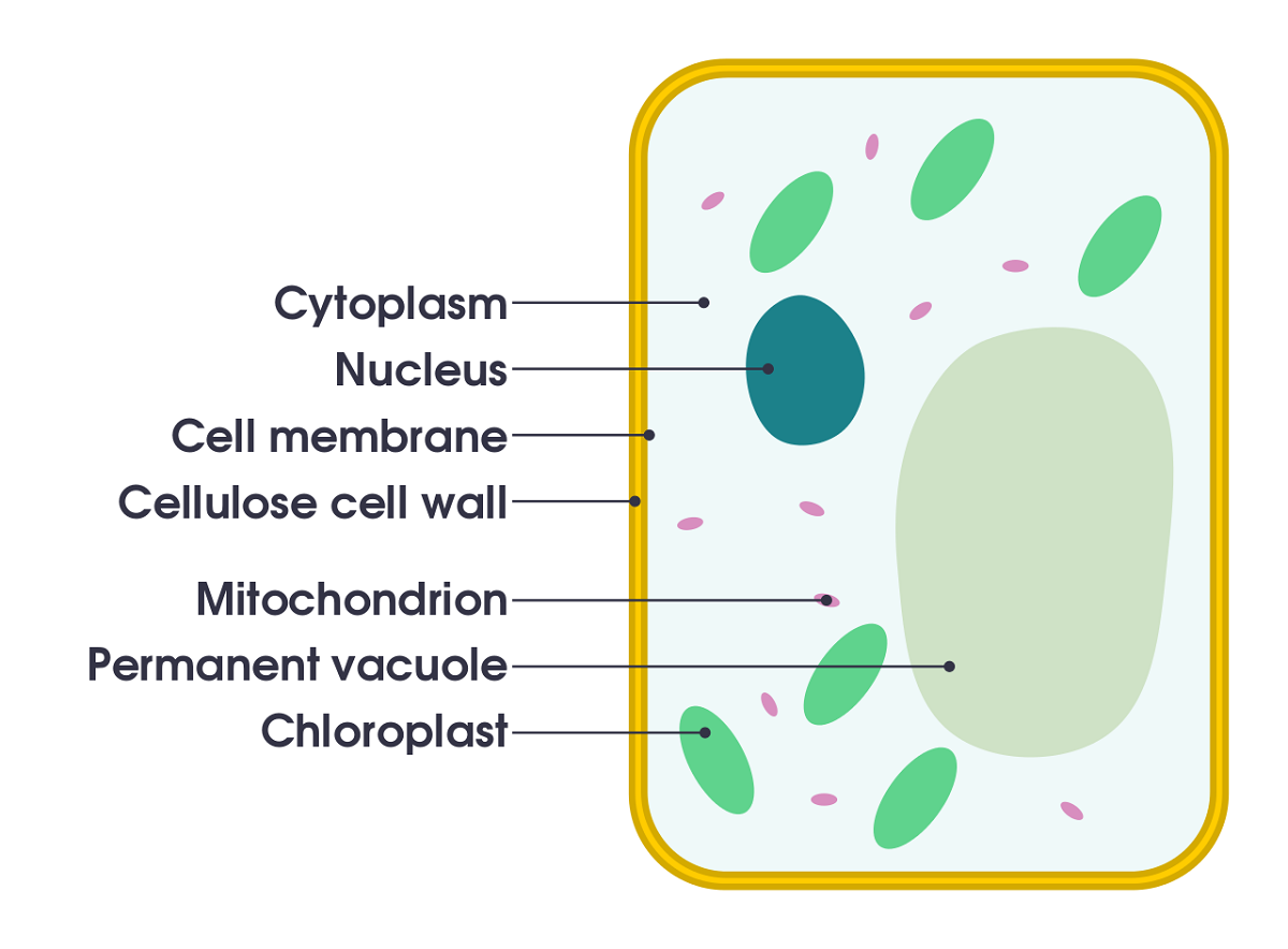 simple plant cell diagram labeled printable diagram [ 1200 x 884 Pixel ]