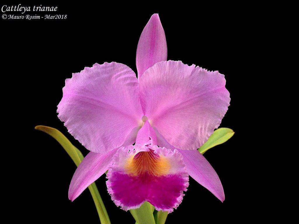 Cattleya Trianae Cattleya Orchid Cattleya Orchids