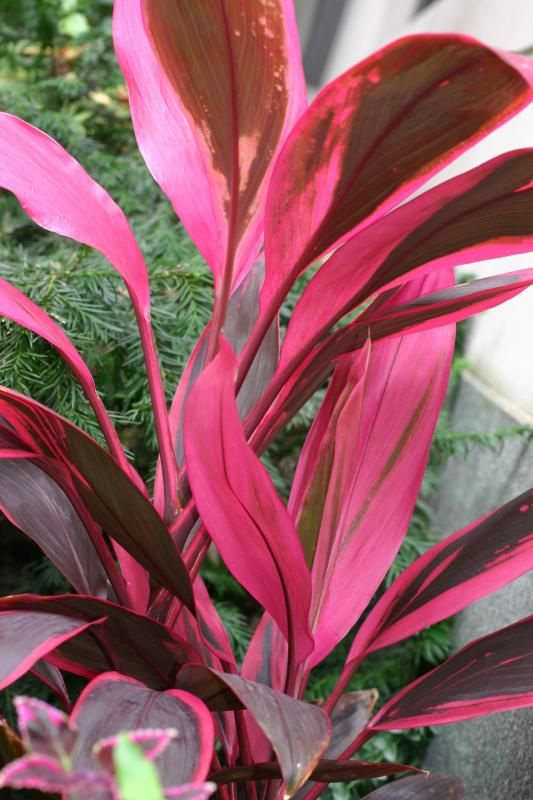 Hawaiian Ti Plant 2 Lawn And Garden Ti Plant Plants
