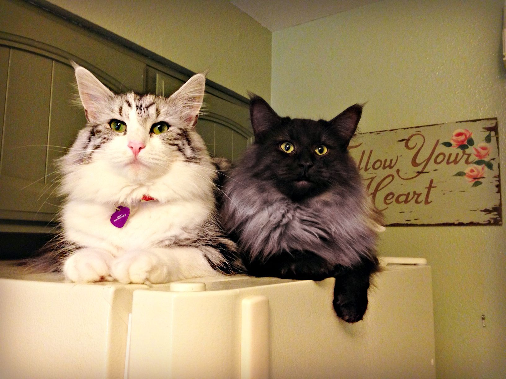Silver Tabby And White Norwegian Forest Cat And Black Smoke Norwegian Forest Cat Www Winterheartnorwegians Com Norwegian Forest Cat Tabby Cat Kittens Cutest