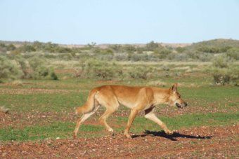 Extra Wild Dog Funds Could Be Used To Fund Bounties In Western Australia S Southern Rangelands Wild Dogs Dingo Dog Dogs