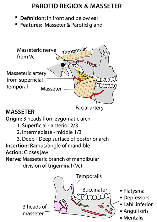 Instant Anatomy Head And Neck Areasorgans Mandible Other