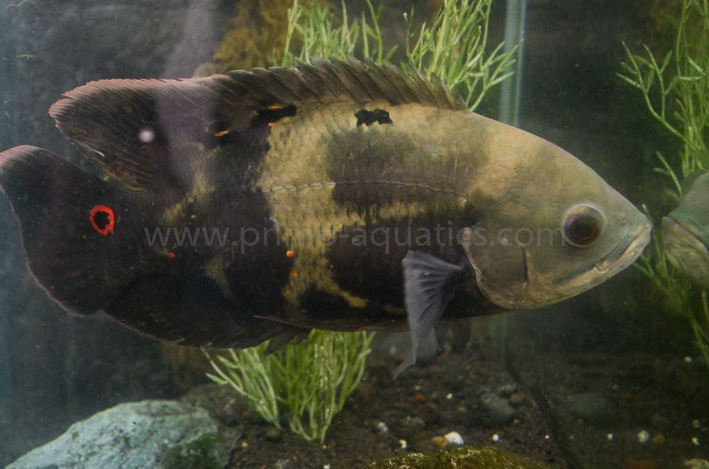 Astronotus ocellatus wild oscar fish 5 10 cichlids for Pictures of oscar fish
