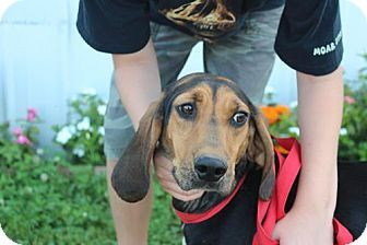 Ohio Urgent Trixie Is A Sweet Coonhound Girl She Loves Atten Does Great With Kids Dogs She S Only About 40lbs Adoption Dog Adoption Coonhound