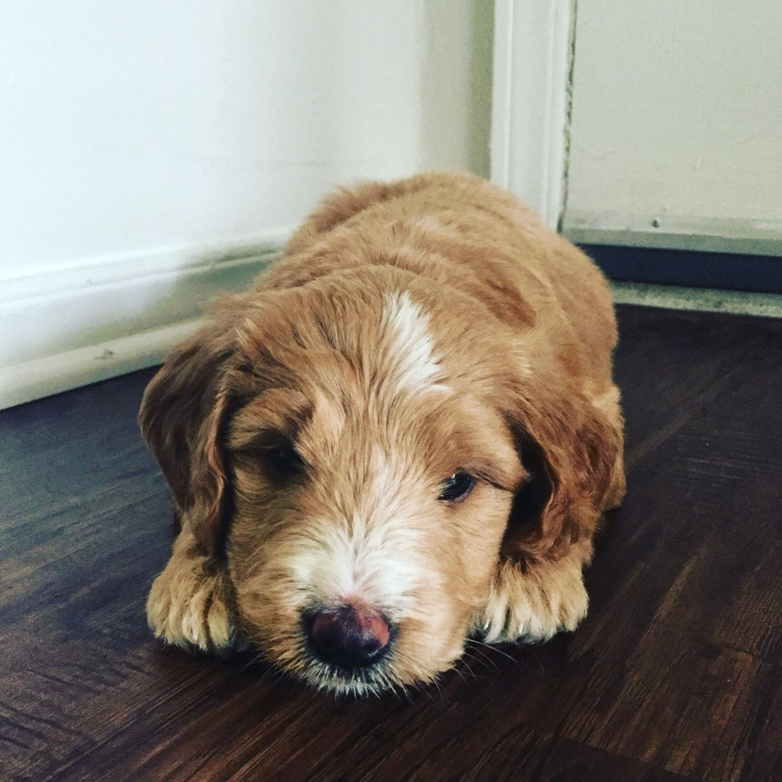 Malee my sweet goldendoodle puppy goldendoodle