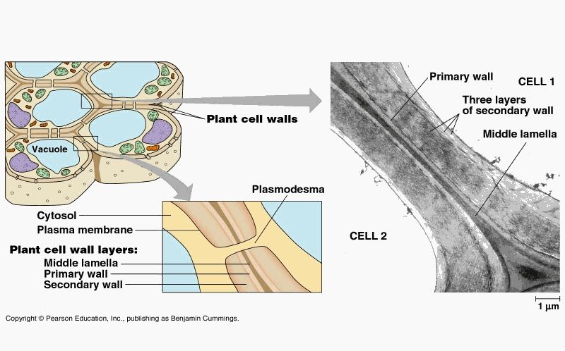 Image: image120.jpg | Cell wall, Plant cell, Plant tissue