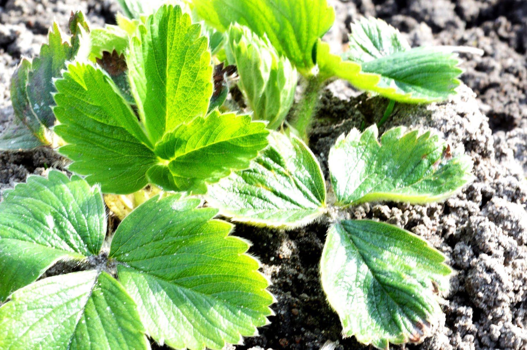 Jak Sadzic Truskawki I Maliny Www Kasia In Plant Leaves Plants Leaves